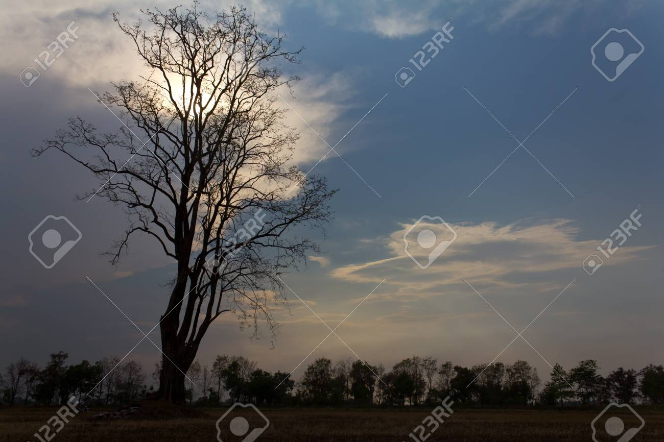 Tree silhouette dead leaves on the dry rice in Thailand Stock Photo - 18739799