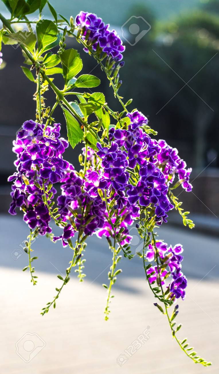Shrubs with purple flowers at end of branch - Purple Flowers And Small Shrubs Against Light Beautifully Stock Photo 25250547