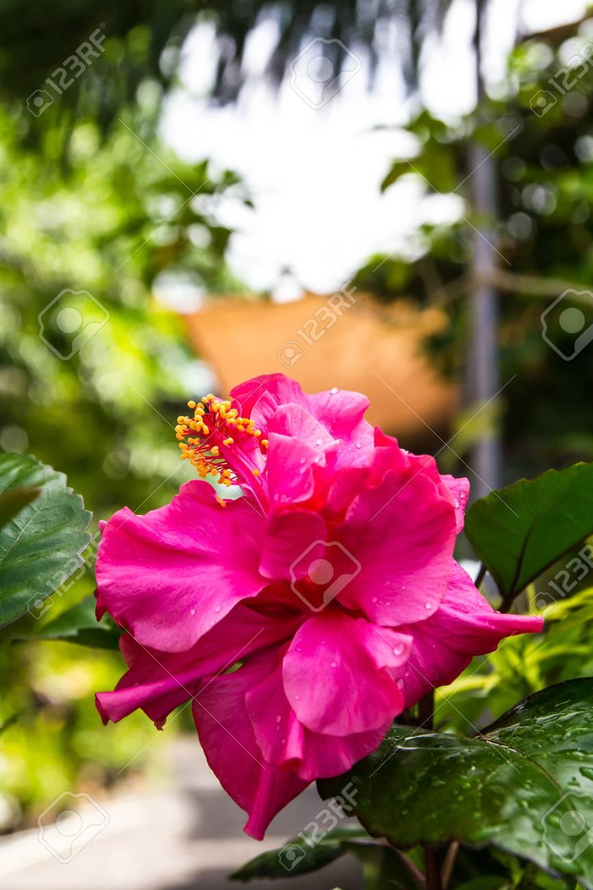 Pétales Se Chevauchent Rose Fleur D\'hibiscus De Rosée Dans Le Jardin ...