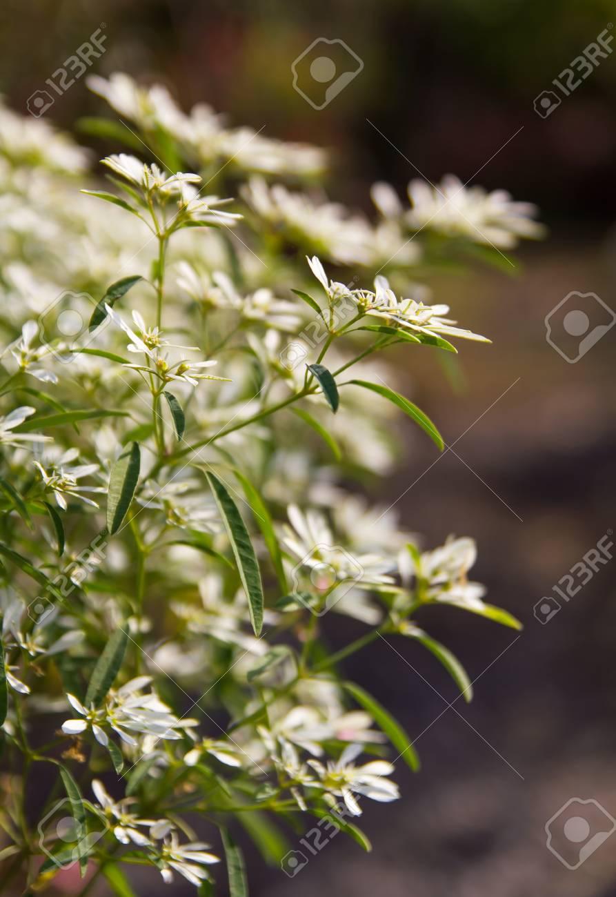 Little White Flowers Blurred Scenesphorbia Leucocephala Lotsy