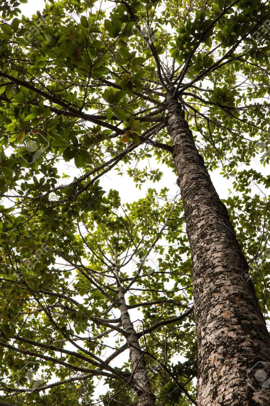 A Vista De Hormiga Del ángulo Bajo De La Torre árbol De Eucalipto En