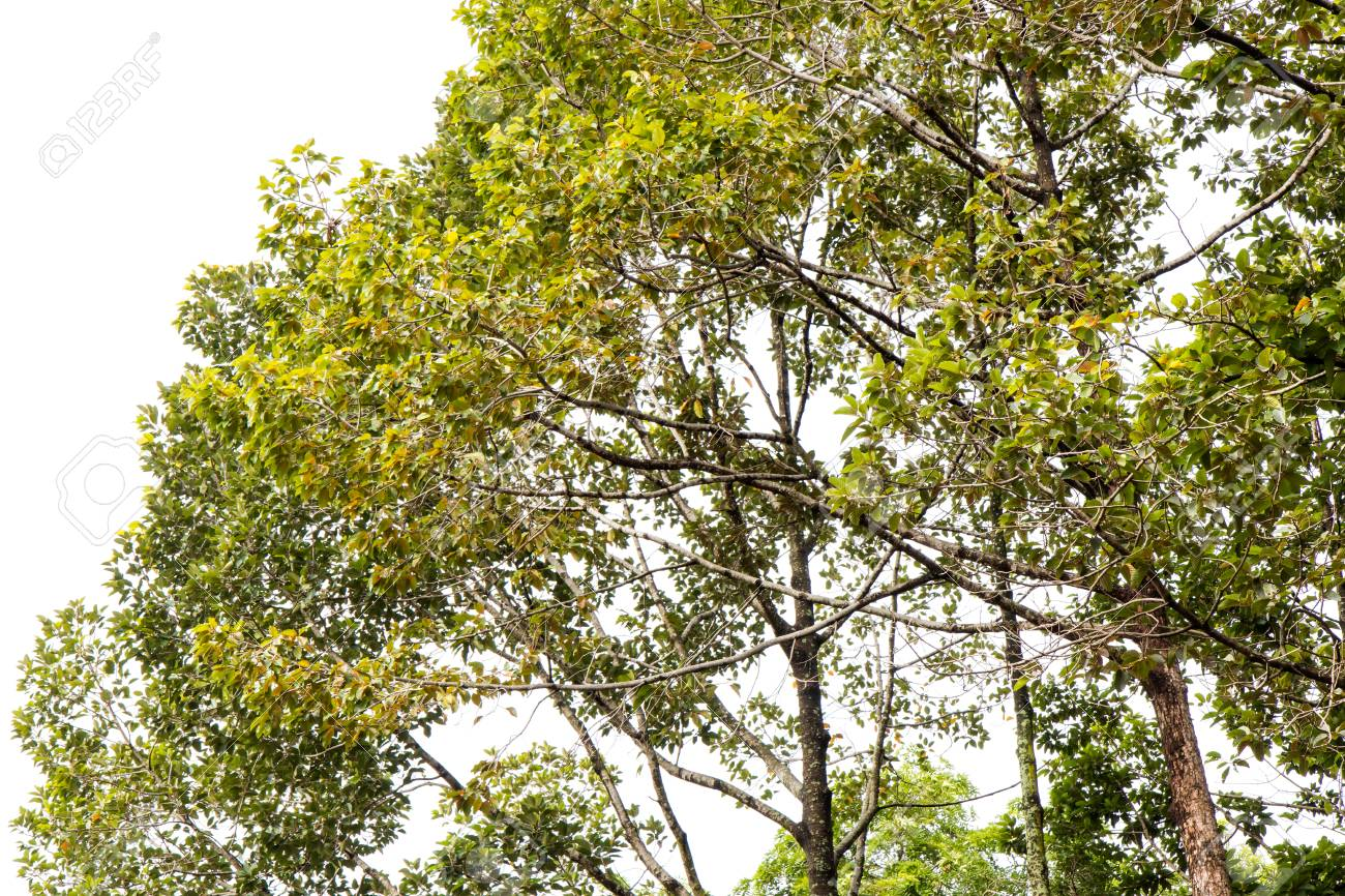 Landscape View The Lower Branches Of A Rubber Trees Farm In Stock
