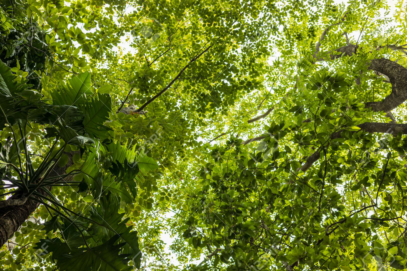 Low angle view of Monstera deliciosa Liebm leaf forest with other types of leaves taken in daylight in a public forest park in rural Thailand. - 171765025