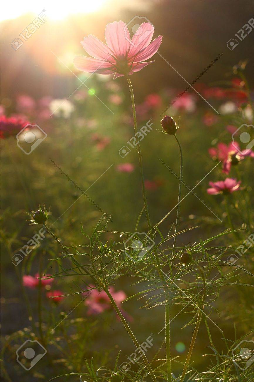 Pink cosmos field backlit Stock Photo - 7486850