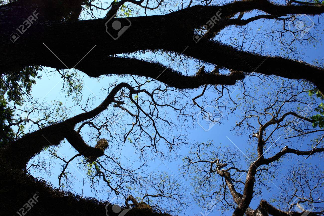 Big tree branches silhouette on clear blue sky Stock Photo - 7487082
