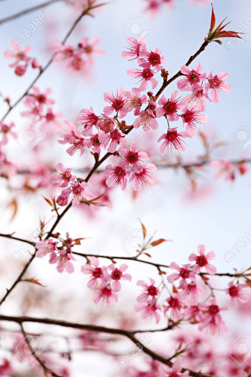Pink sakura flowers stock photo picture and royalty free image pink sakura flowers stock photo 8473500 dhlflorist Images