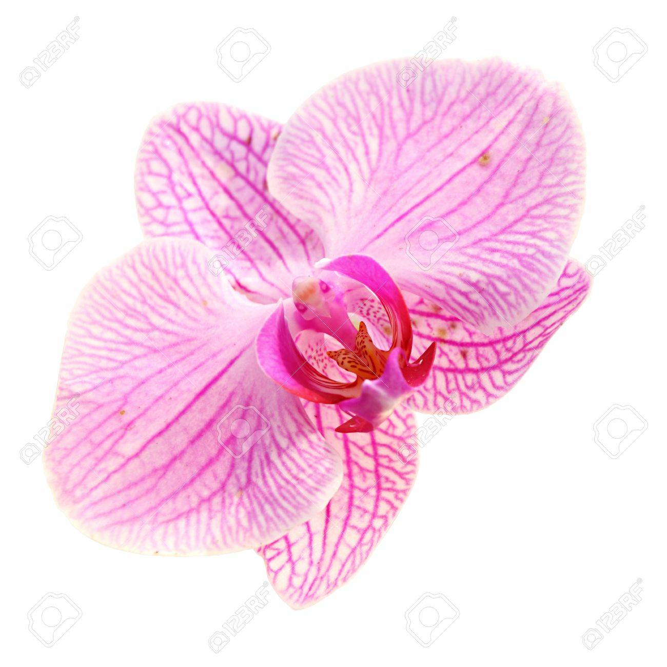 Sweet Color Pink Orchid Isolate - 8499341