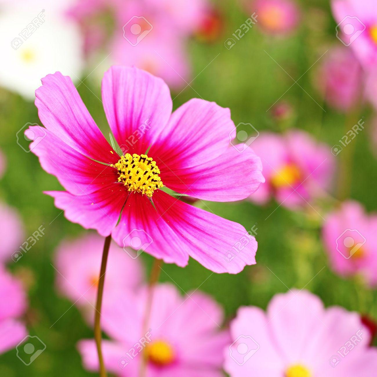 magnifique fleur de cosmos banque d'images et photos libres de
