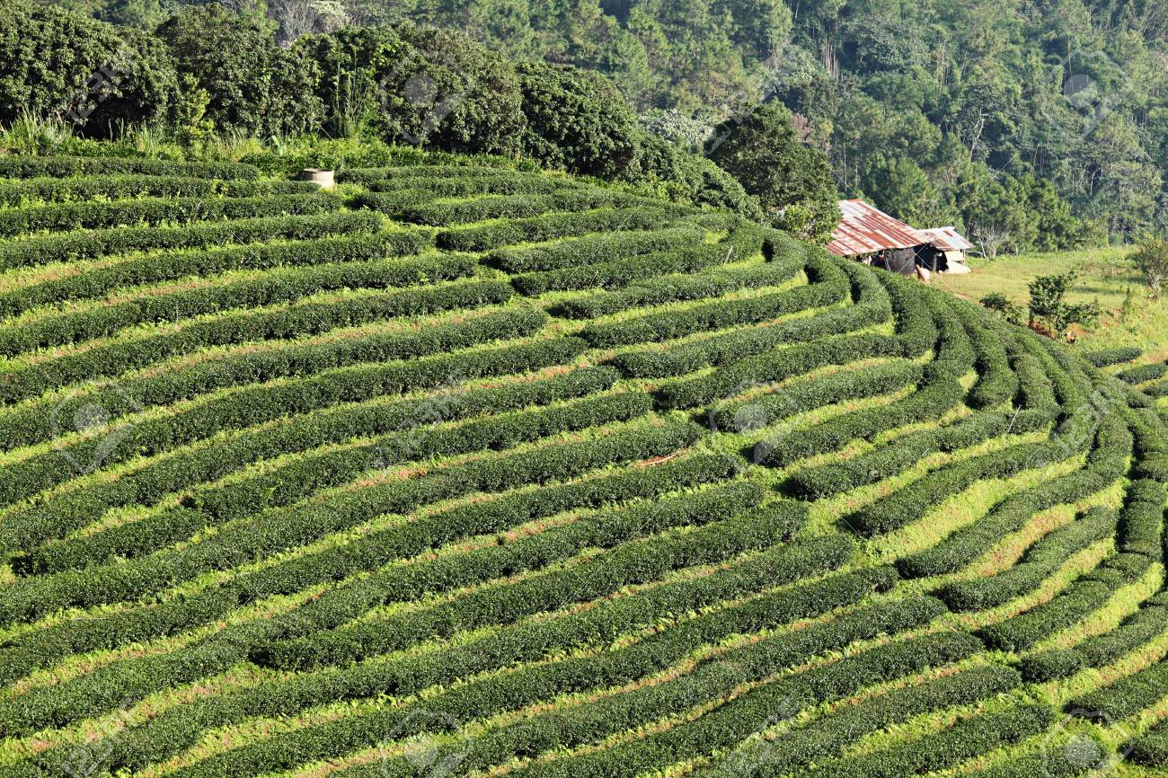 Green Tea Farm Stock Photo - 8894569