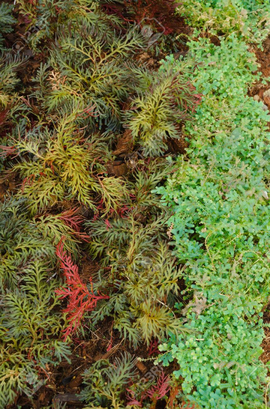 Selaginella erythropus,Spike Moss family in fern sheds Stock Photo - 25367886