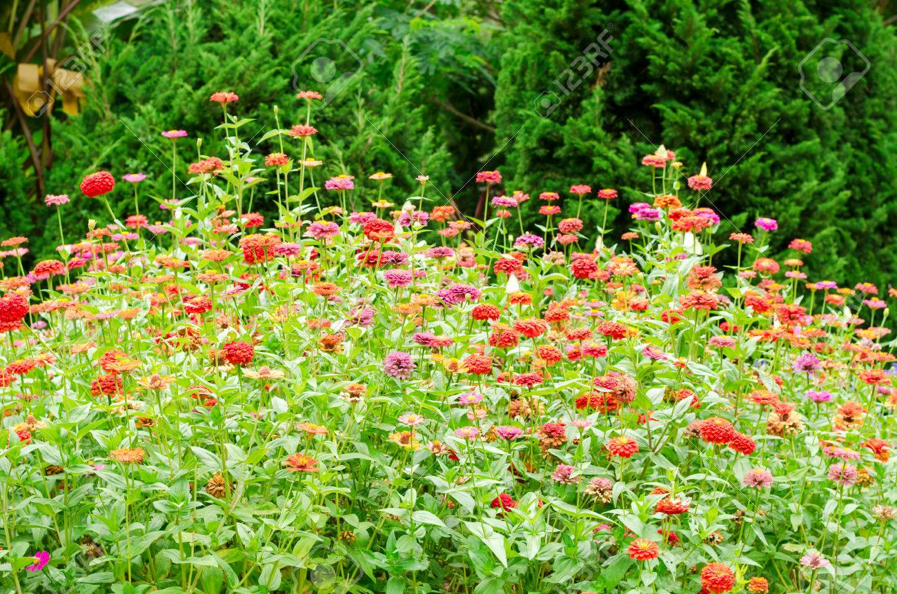 Beautiful natural gardens - Beautiful Of Colorful Zinnia Flower In Natural Garden Park Stock Photo 42556395
