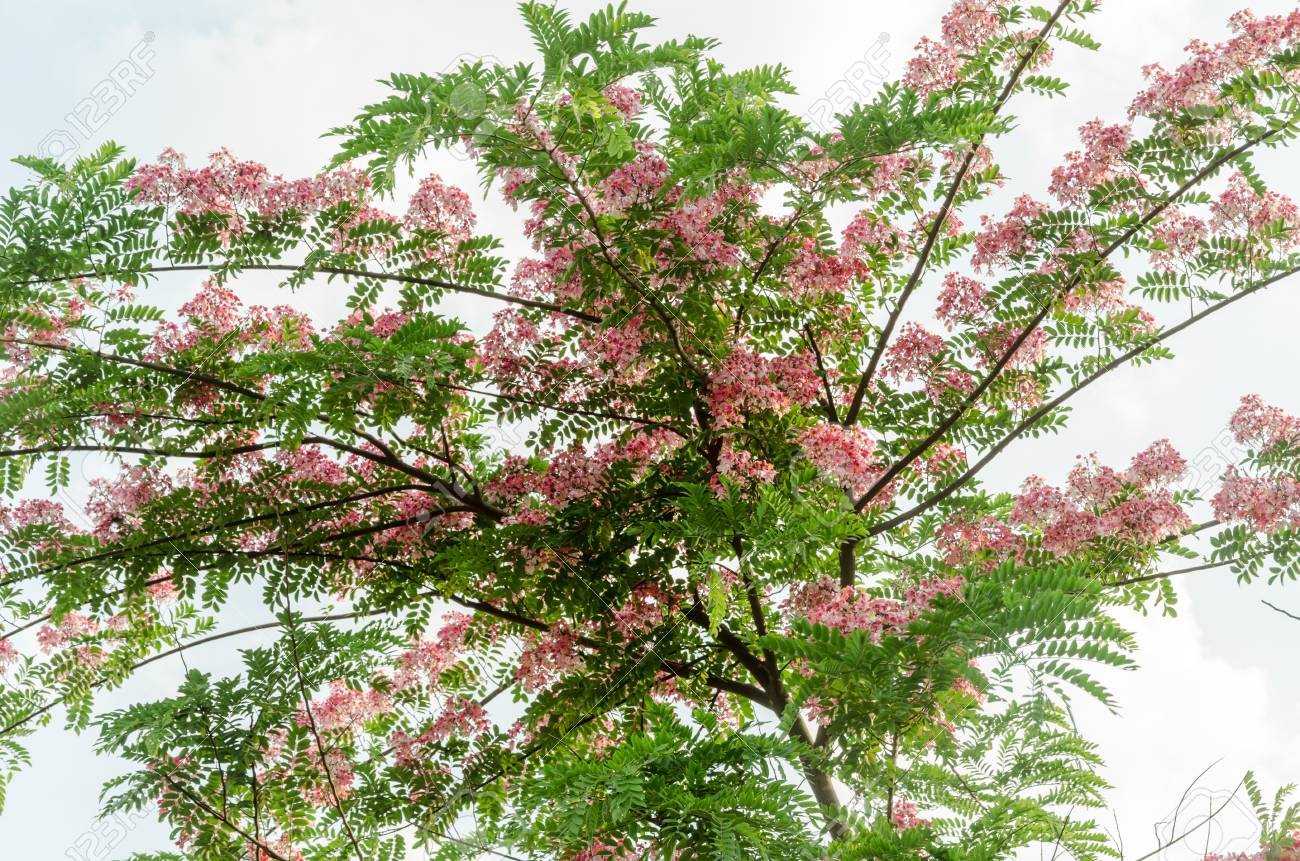 Cassia Javanica Flower On Tree Pink Flower With Green Leaves