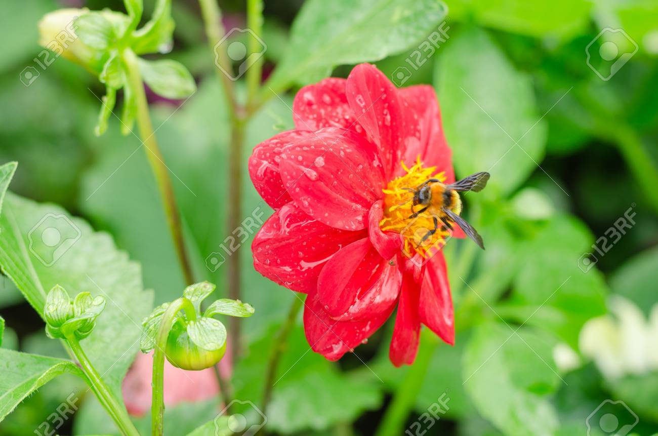 Dahlia flower with green leaves in the garden stock photo picture dahlia flower with green leaves in the garden stock photo 67838220 izmirmasajfo