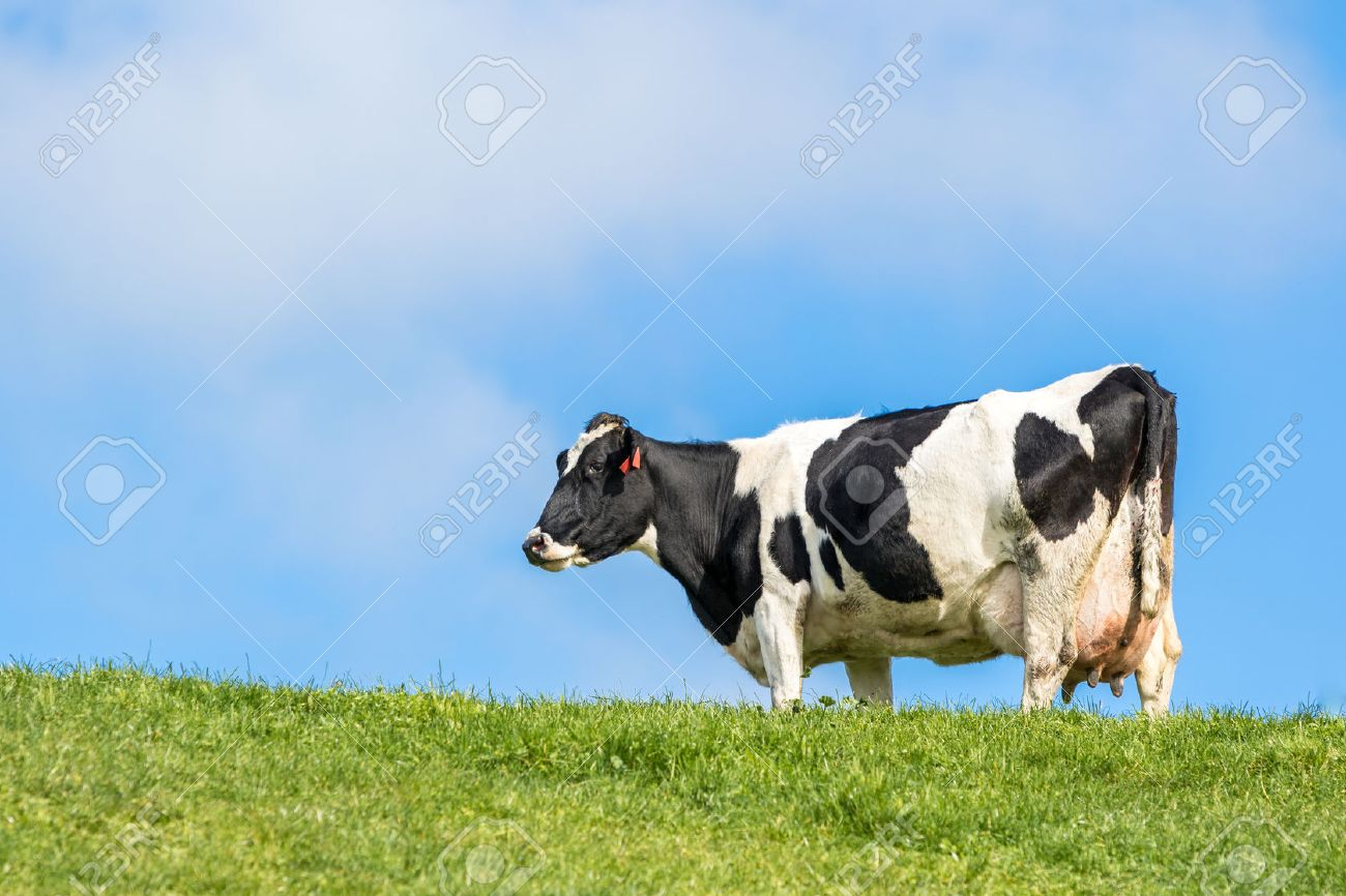 Pregnant cow in green grass paddock - 43828536