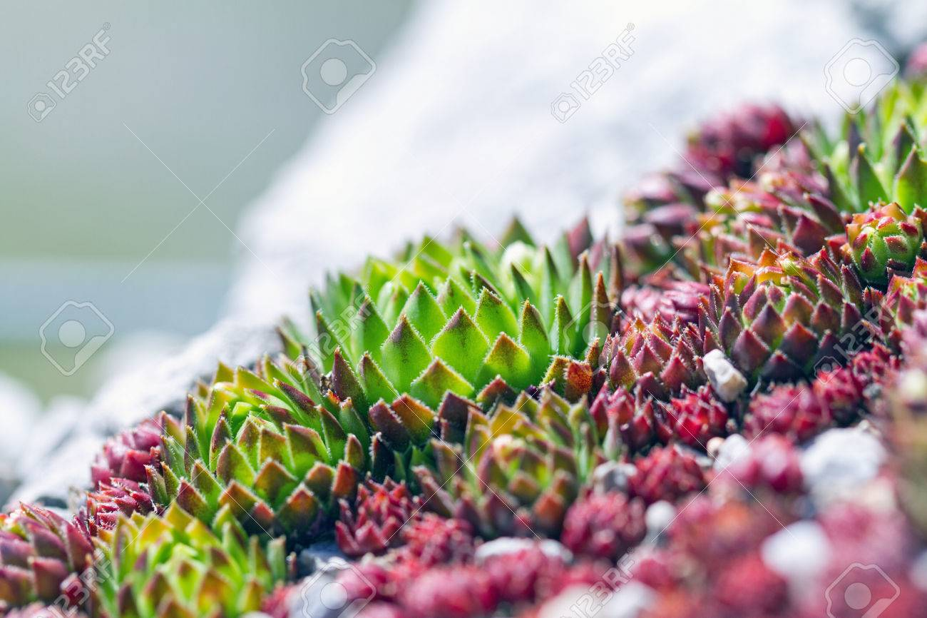 Succulent Plants Suitable For Rock Garden Sempervivum Calcareum – Plants for a Rock Garden