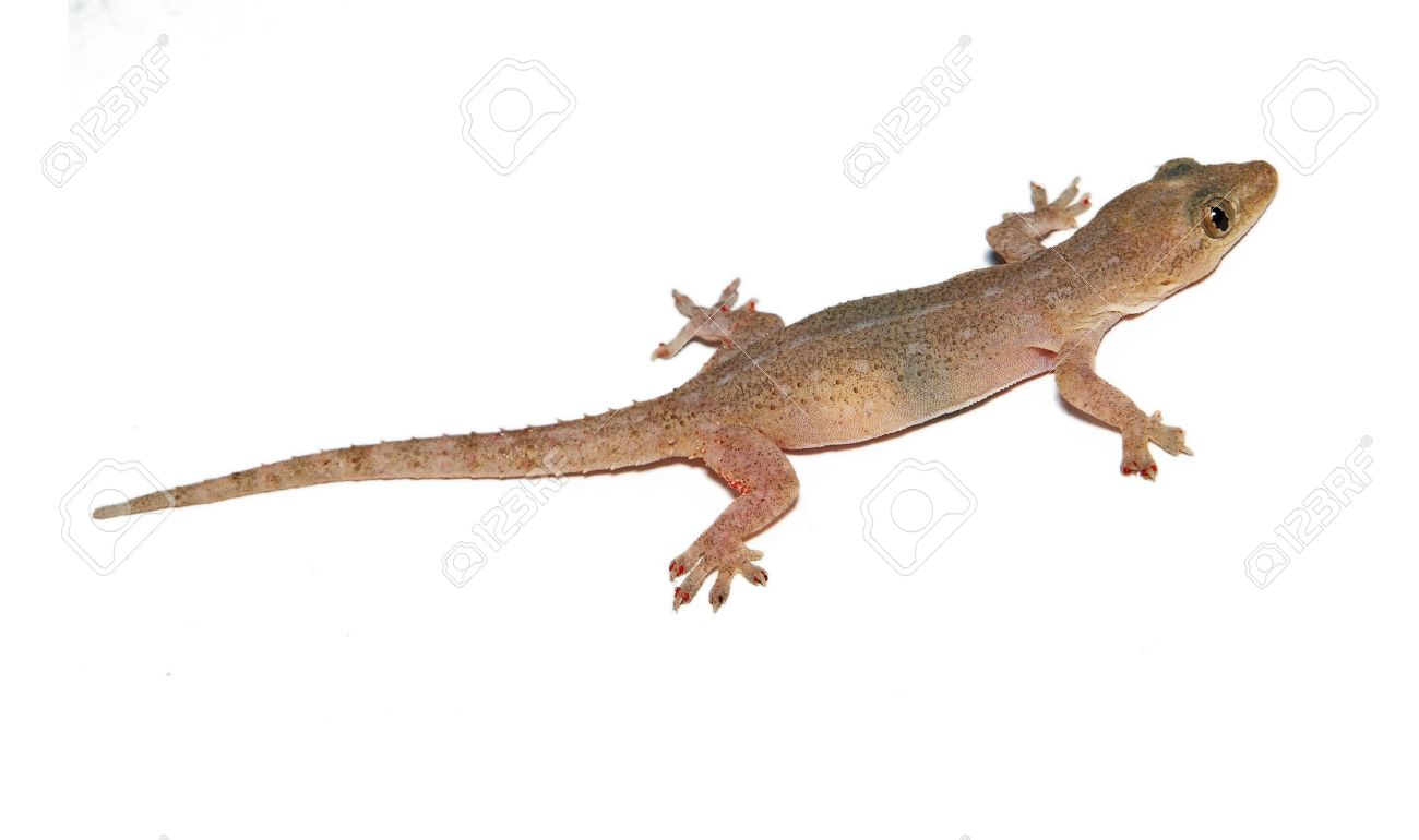 gecko small funny lizard isolated on white stock photo picture