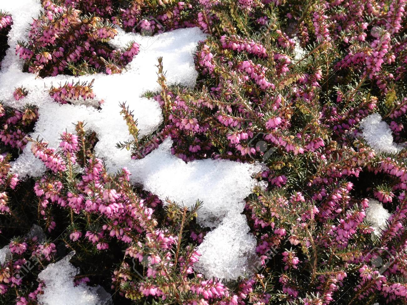 Spring Is Coming A Remnant Of Snow On A Flowering Heather Plant