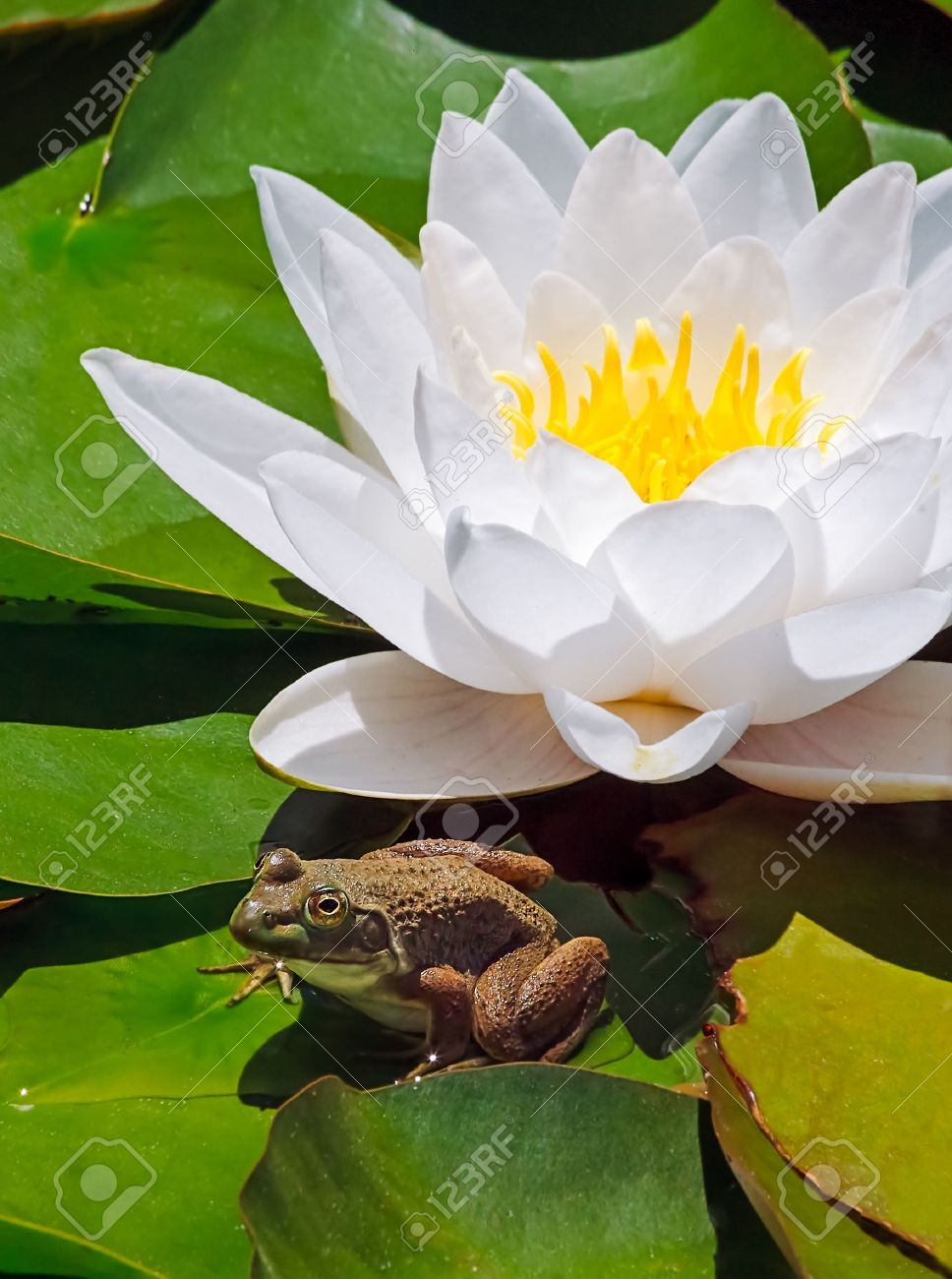 A Small Frog Sits Atop Water Lily Pads With A Brilliant White
