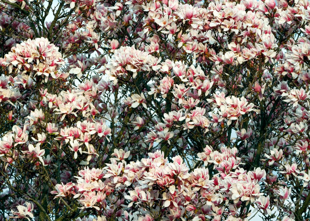 A Saucer Magnolia Trees Blooms In The Spring Stock Photo Picture
