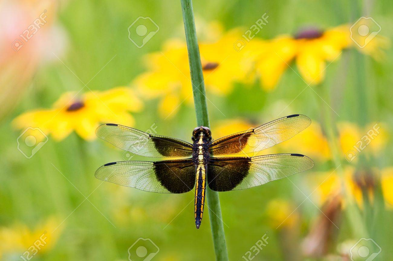 a widow skimmer dragonfly libellula luctuosa perches among stock