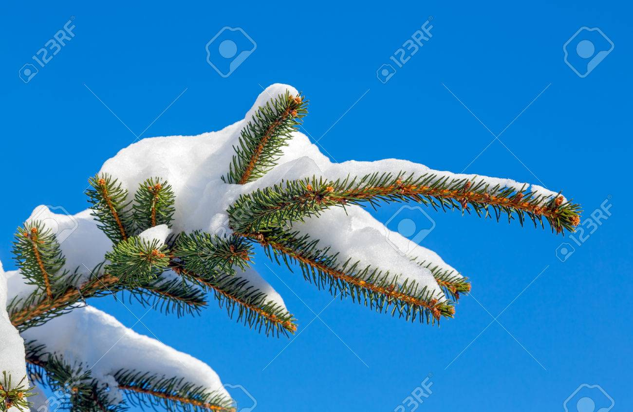 Snowy Pine Bough Stock Photo - 25474105