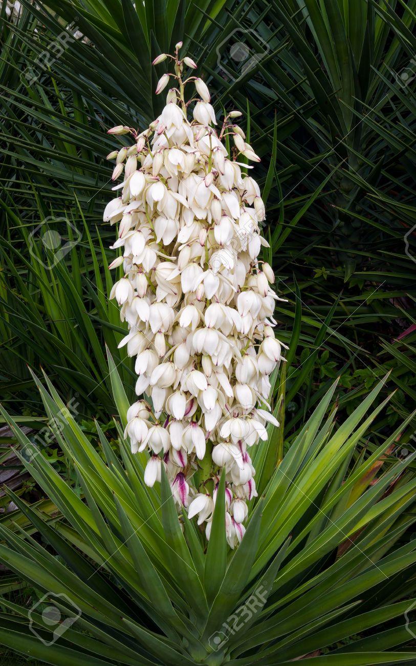 Une Belle Plante De Yucca Affiche Beaucoup De Fleurs De Fleur