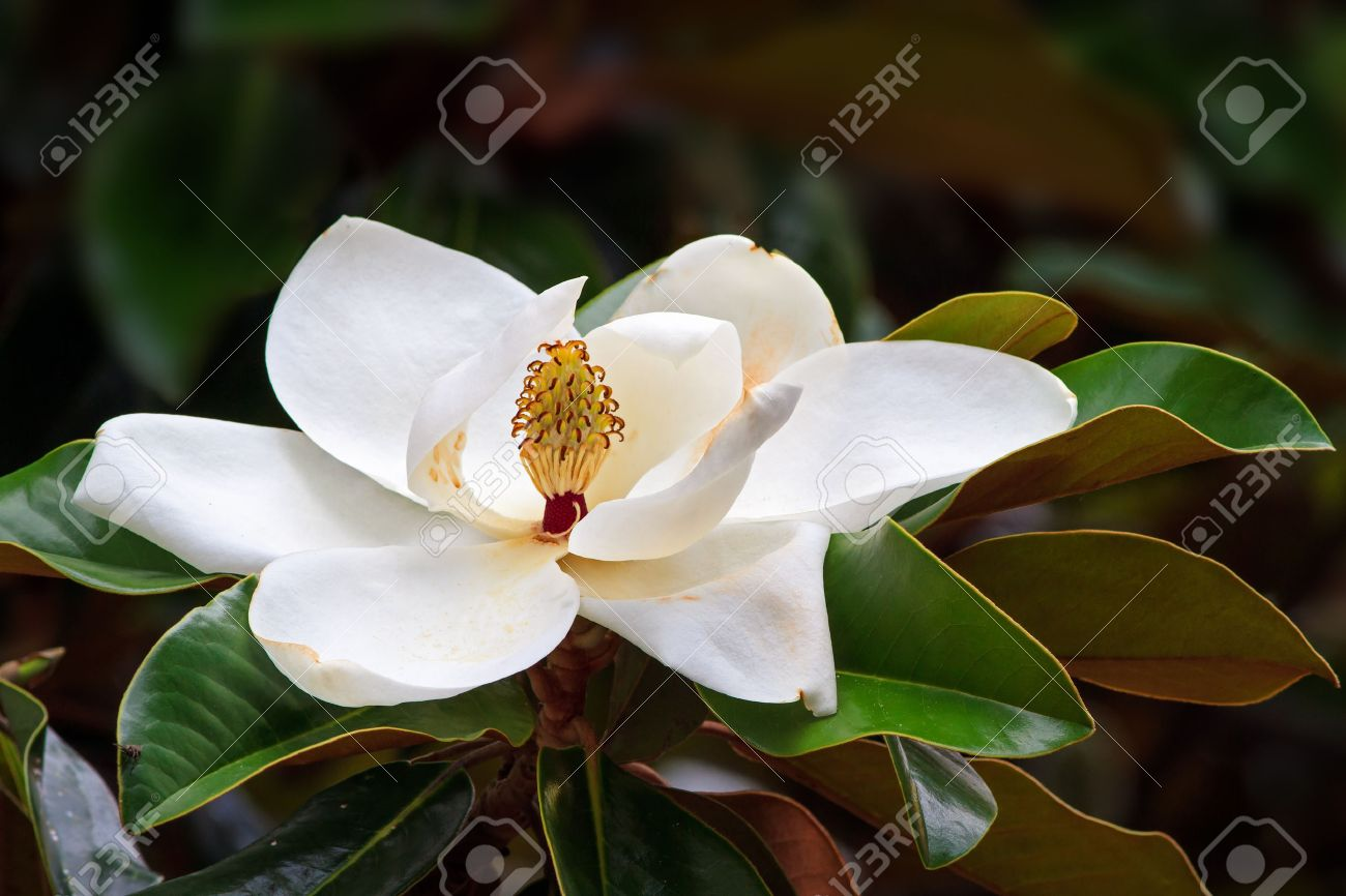 A Large Creamy White Southern Magnolia Flower Blossom Is Circled
