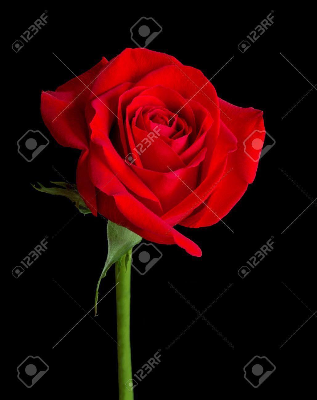 Immagini Stock Una Sola Rosa A Gambo Lungo Rosso è Isolato Su Uno