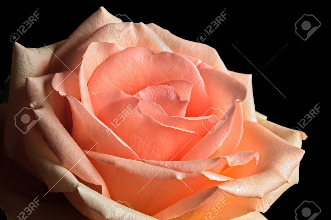 Immagini Stock Una Rosa Con Pastello Pesca E Toni Rosa è