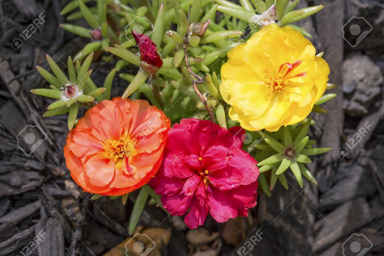 Stock Photo   Three Colorful Flower Blooms Adorn This Portulaca Or Moss  Rose Plant.