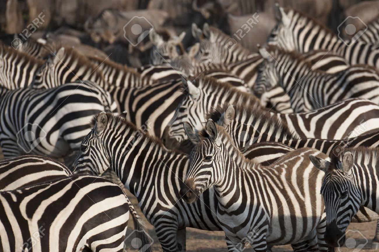 Zebra wildlife in Kenya - 7188142