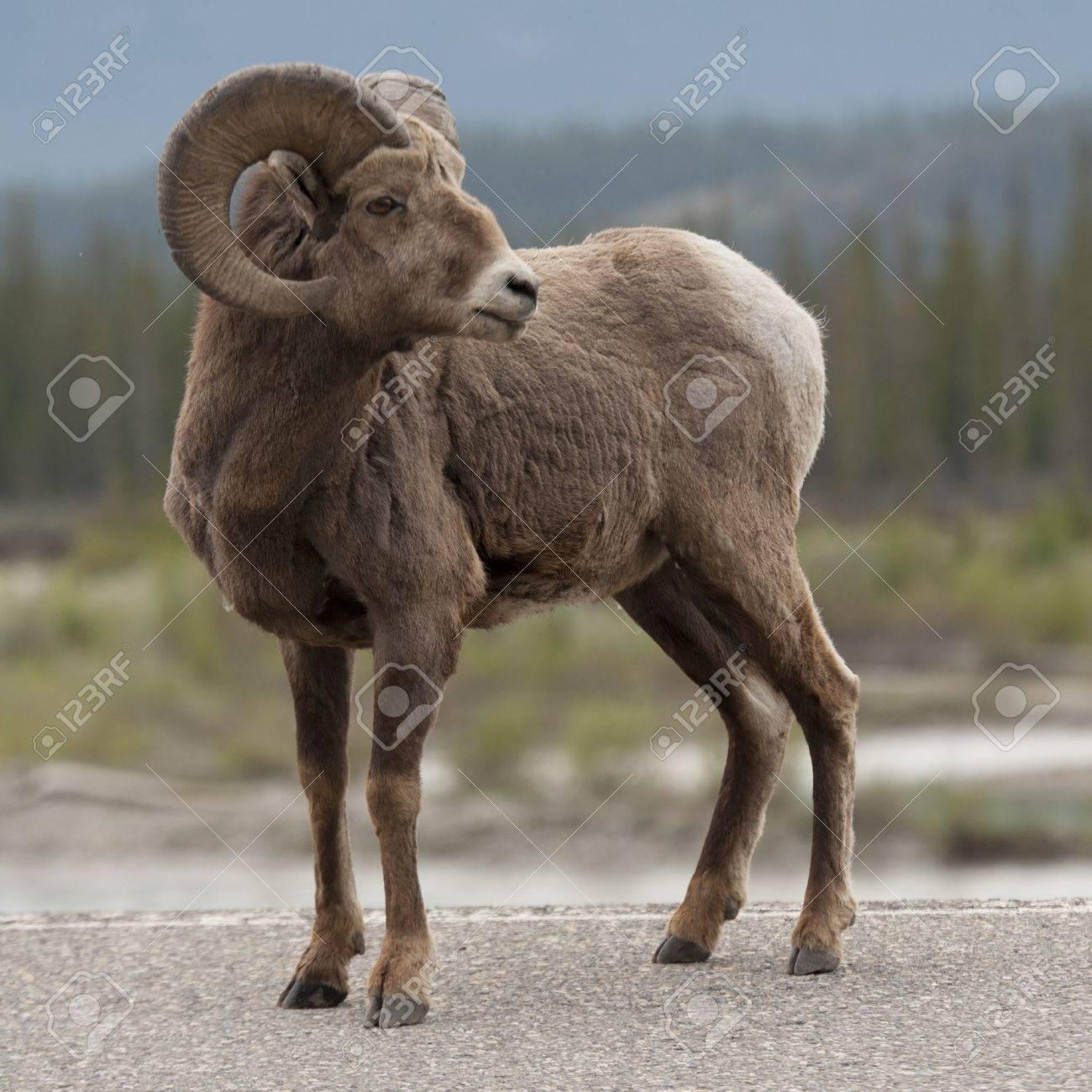 Bighorn sheep (Ovis canadensis), Jasper National Park, Alberta, Canada - 14207549