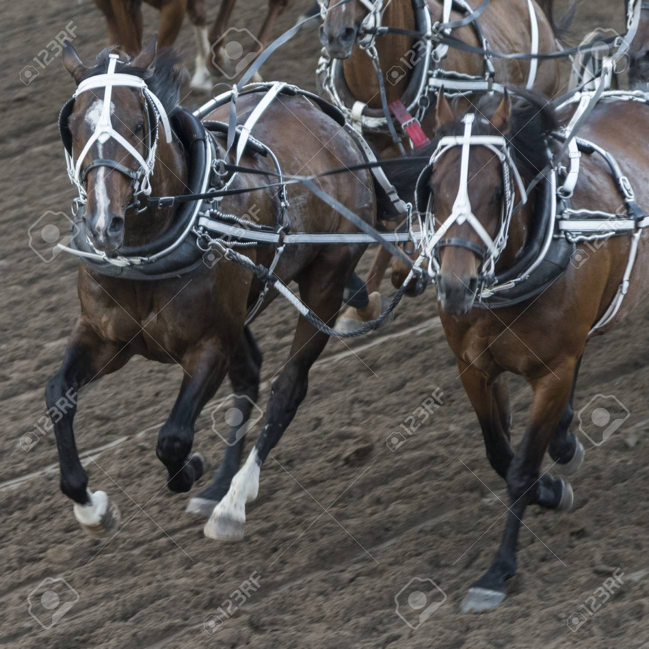 Horses chuckwagon racing at the annual Calgary Stampede, Calgary,