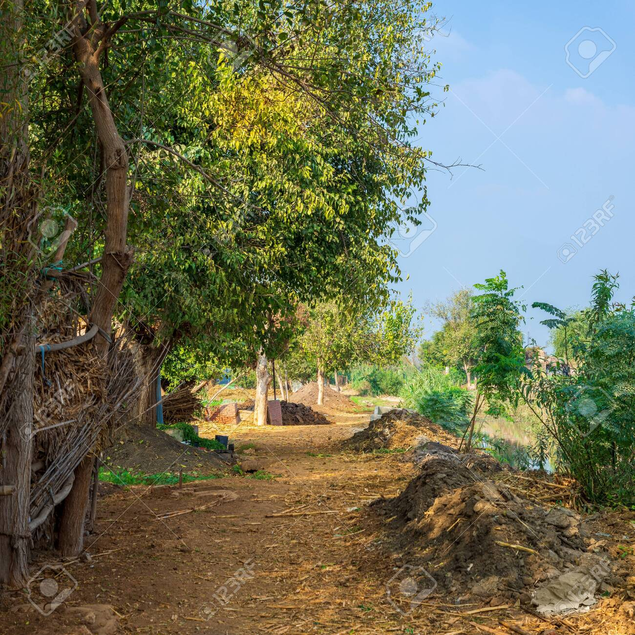 Large tree with spreading green crown in open air in valley under bright blue sky at traditional Egyptian village - 151605708