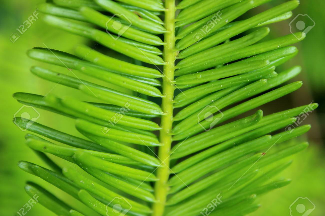 Grand Fir Abies Grandis Needles Closeup Stock Photo Picture And