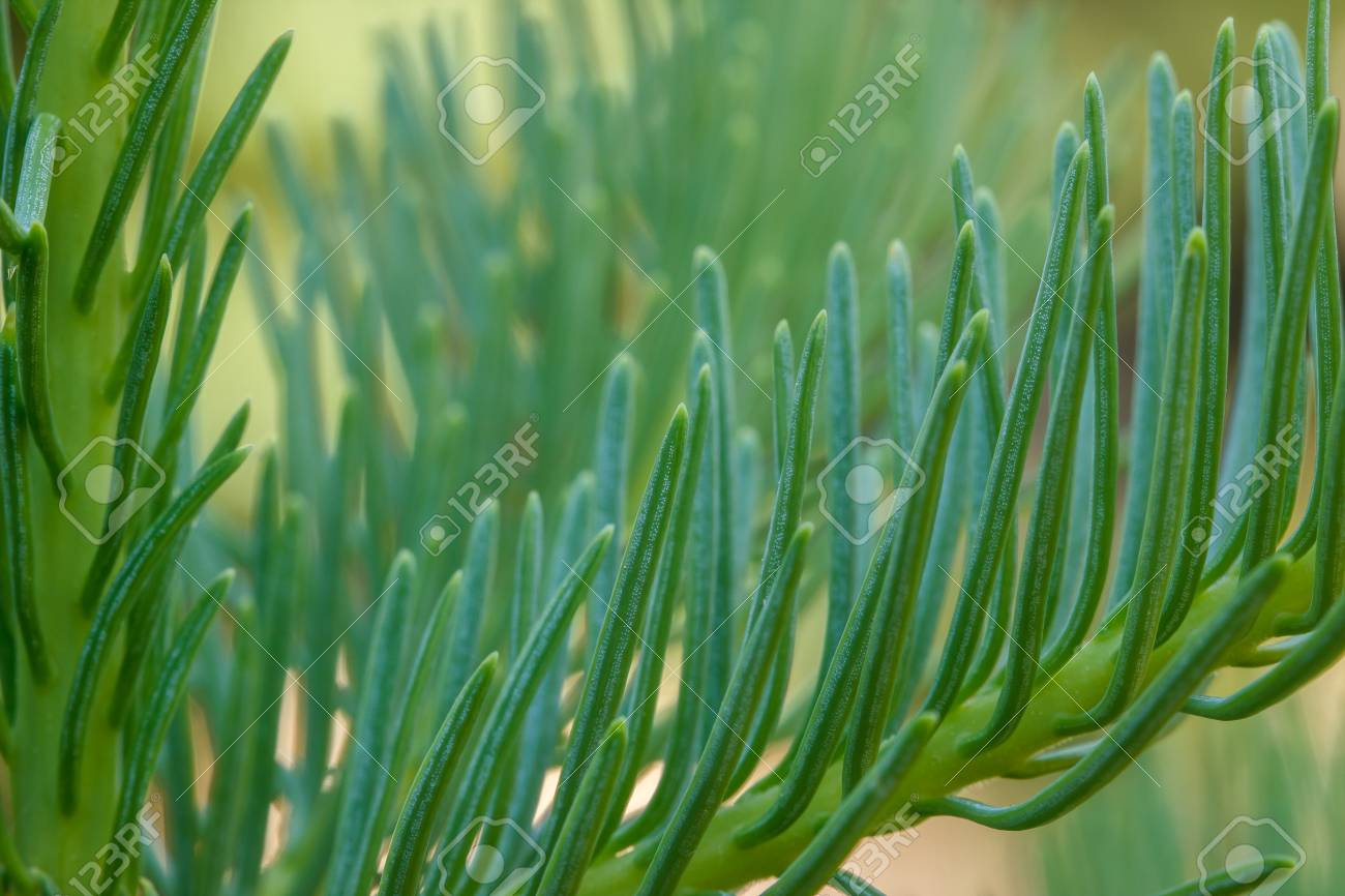 Closeup Of Red Fir Abies Magnifica Needles On A Young Tree Stock