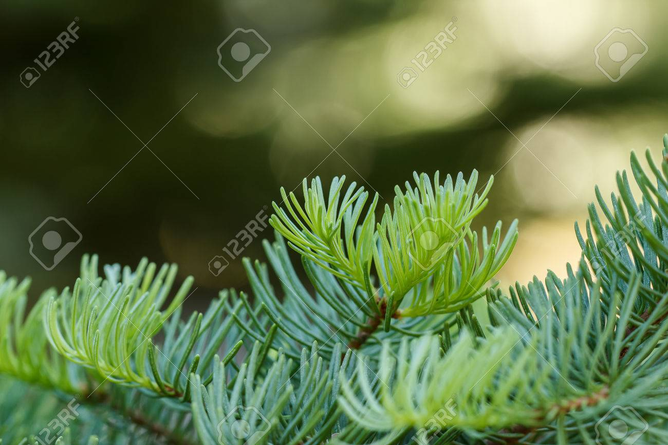 Red Fir Abies Magnifica Branches With Fresh Green Growth With
