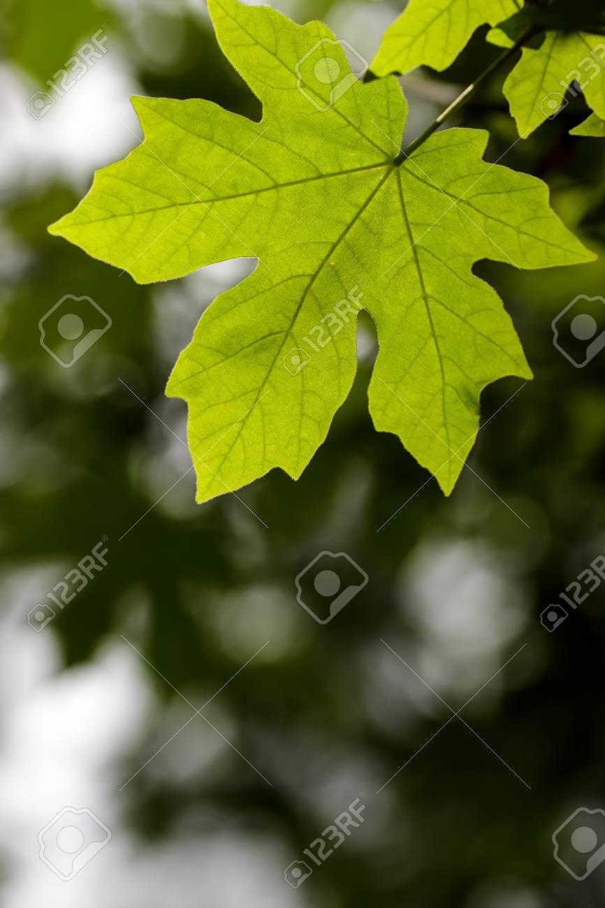 Bigleaf Maple Acer Macrophyllum Leaf Against A Blurred Background