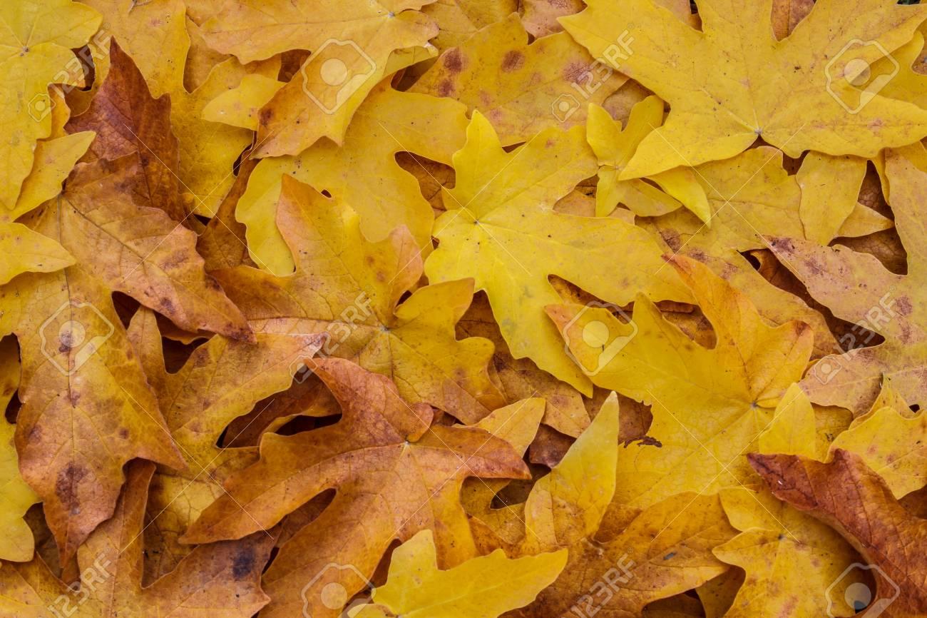 Pile Of The Seasonal Leaves Of The Bigleaf Maple Acer Macrophyllum