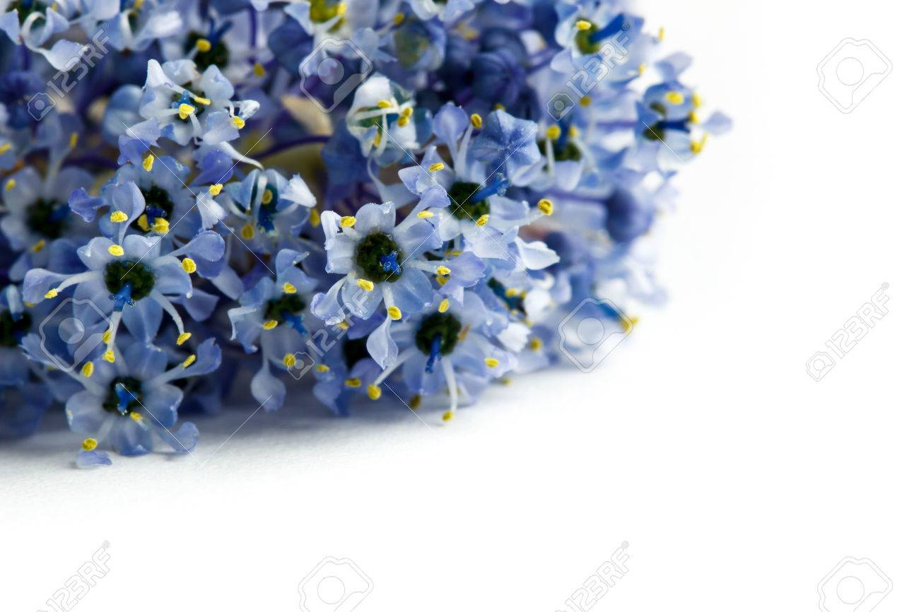 Closeup of blue ceanothus flowers isolated on a white background closeup of blue ceanothus flowers isolated on a white background common names include california lilac mightylinksfo