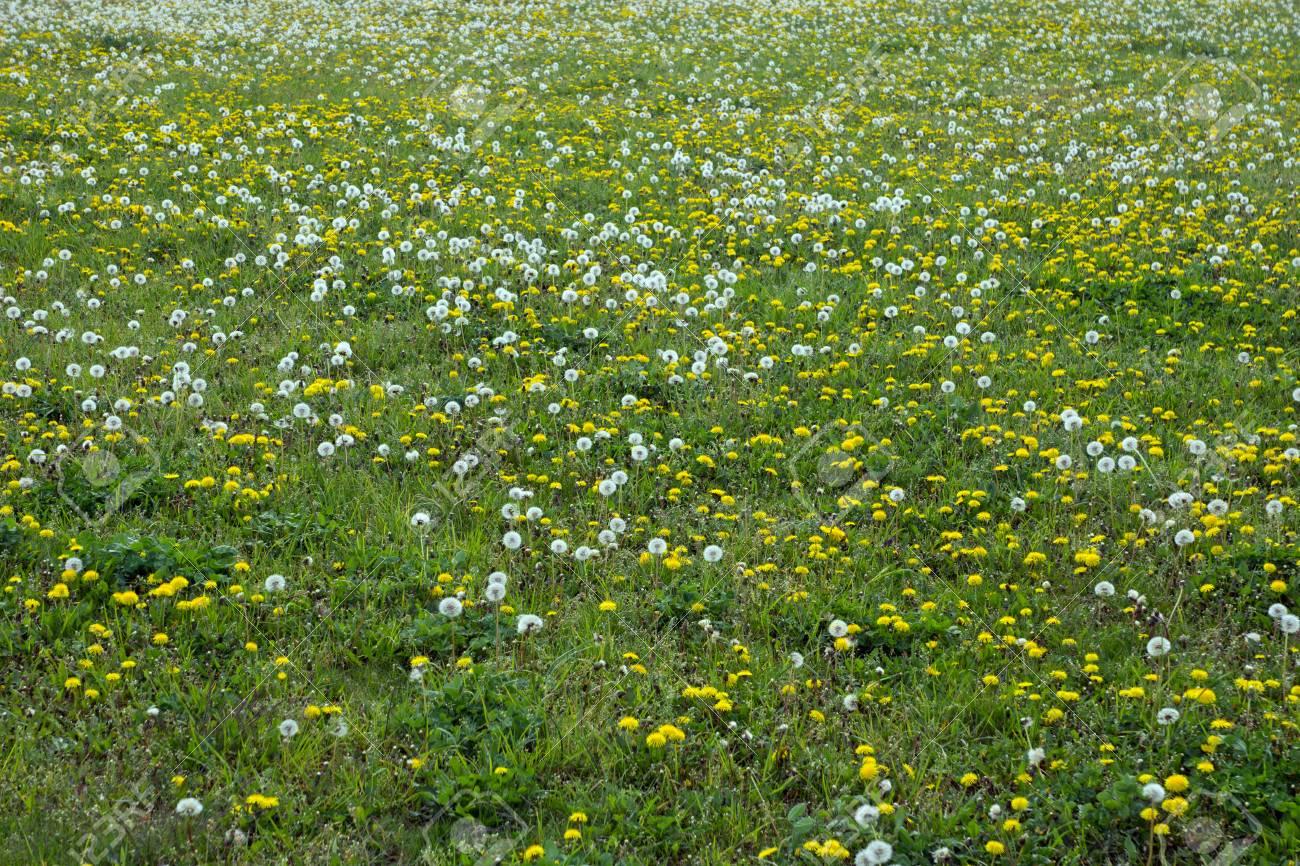 Prato Di Fiori Selvatici Nell\'erba Verde Foto Royalty Free, Immagini ...