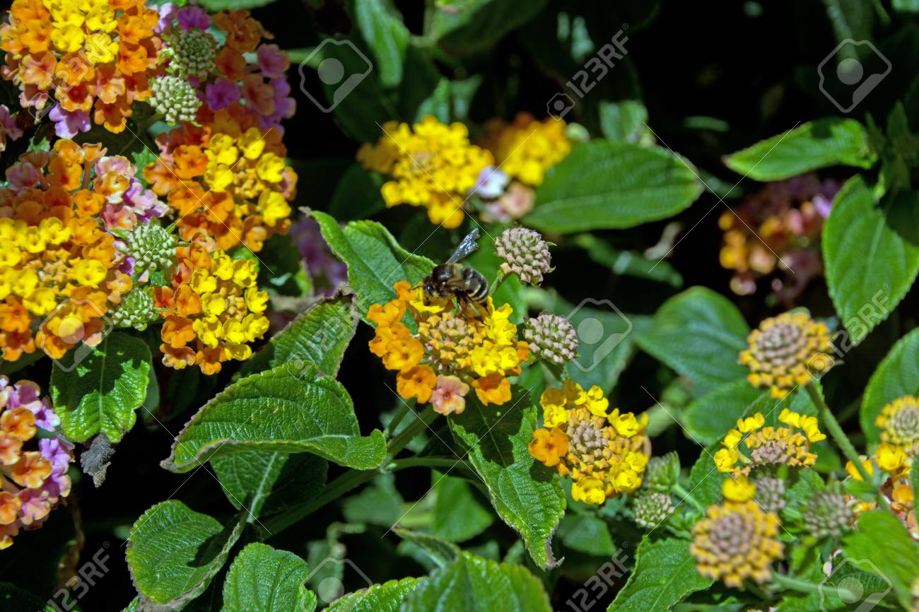 Lantana Camara Flower In The Garden Stock Photo Picture And Royalty