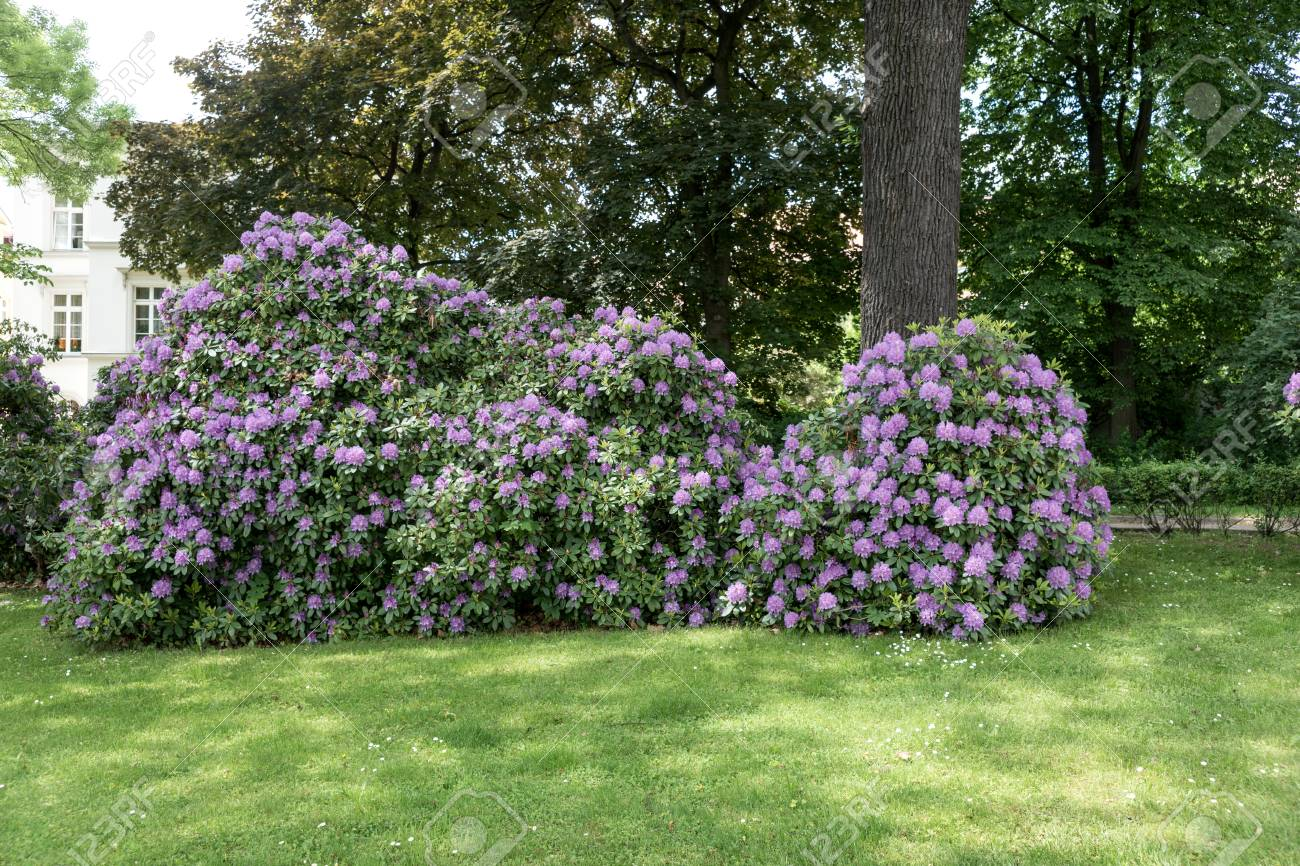 Beautiful rhododendron flower bushes in a garden landscape stock beautiful rhododendron flower bushes in a garden landscape stock photo 79222995 izmirmasajfo