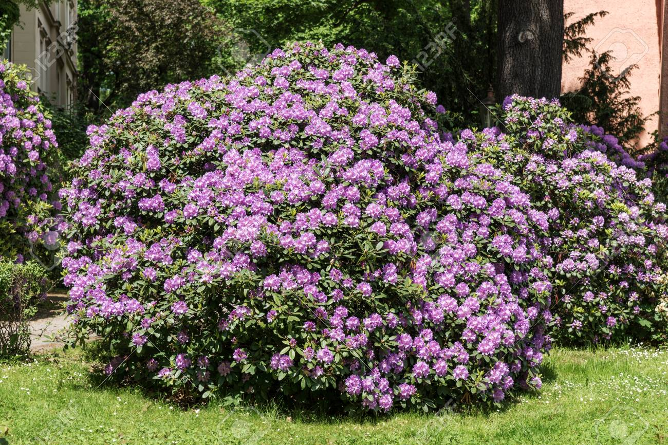 Beautiful Rhododendron Flower Bushes In A Garden Landscape Stock