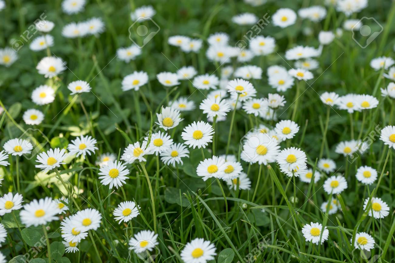Field of daisy flowers bellis perennis in the garden stock photo field of daisy flowers bellis perennis in the garden stock photo 79499384 izmirmasajfo Image collections