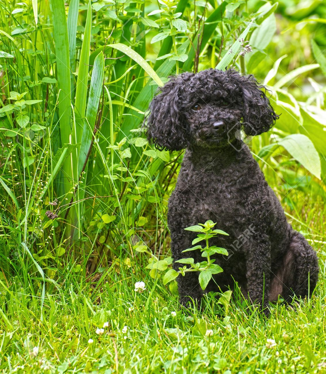 Portrait Of An Adorable Miniature Poodle With His Summer Haircut