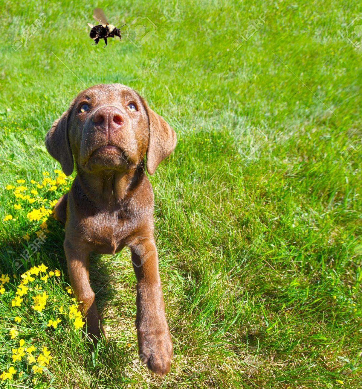 Imagen Chistosa De Gran Angular De Un Cachorro De Labrador Color