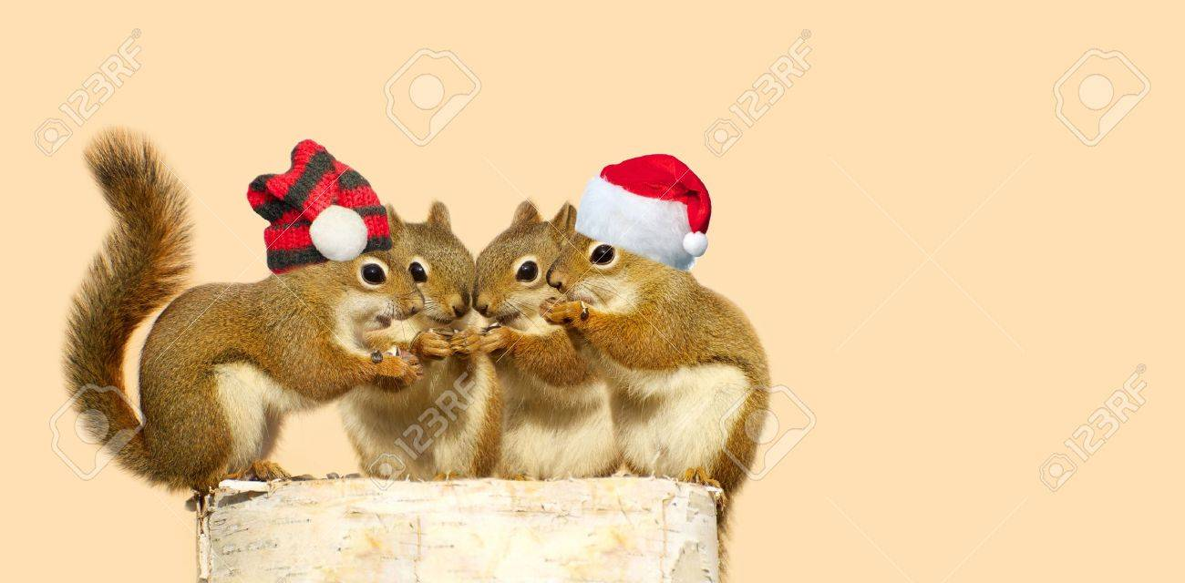 Cute image of four adorable baby squirrels on a birch log sharing some sunflower seeds, the two boys wearing Christmas hats, with copy space. Stock Photo - 15556657