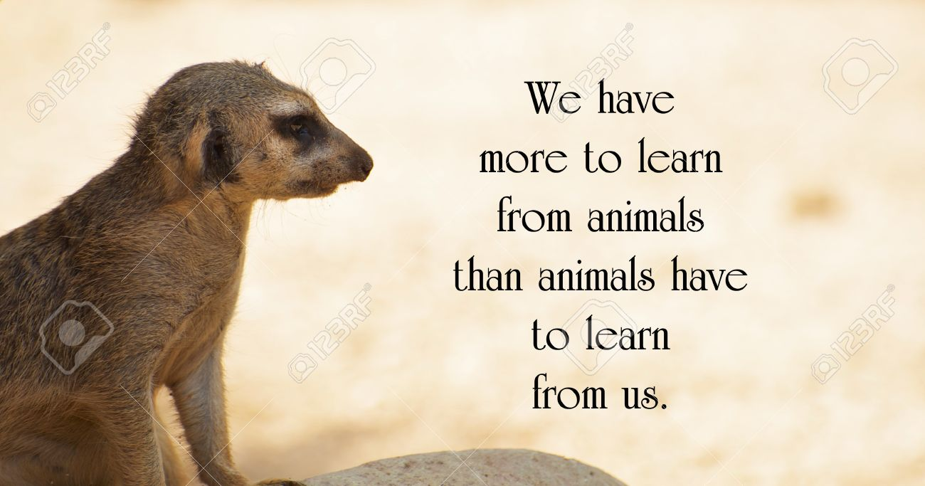 Inspirational quote about animals, with a lone Meerkat keeping..