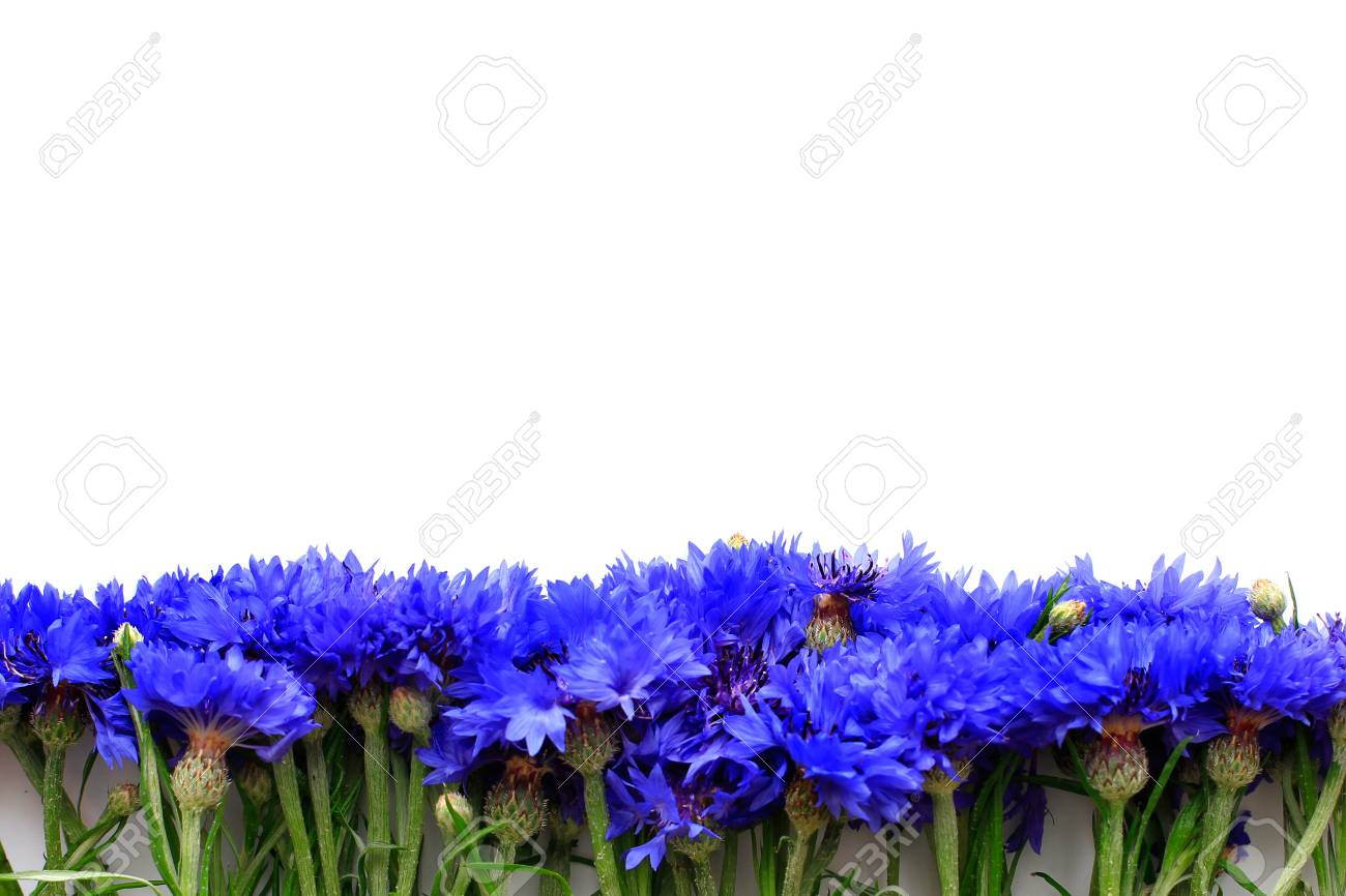 Cornflowers on white background with place for text - 105519689